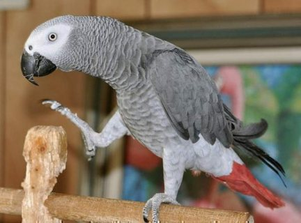 Red Congo African Grey Parrots Available 111