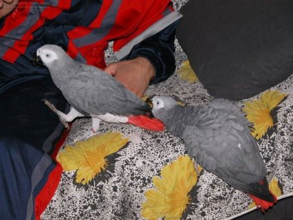 Adorable African Grey Parrot for sale999
