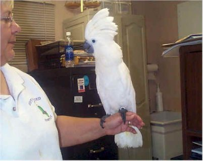 Umbrella Cockatoos Available For New Homes9999