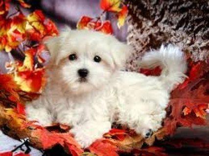 Cute White Maltese Puppies Loving Family