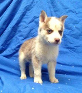 For Stud: Copper-colored AKC Registered Siberian Husky