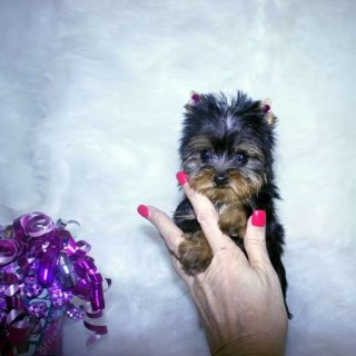 صور Nice Tea Cup Yorkie Puppies For Adoption2 1