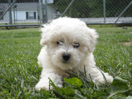 Pure Breed bichon frise puppies for Rehoming01