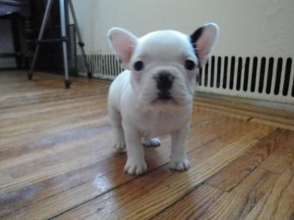 Cutest French Bulldog Puppies For Rehoming07