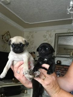 Beautiful Pugs For Sale.