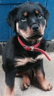 4 months old female Rottweiler for sale
