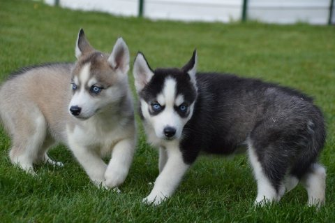 Akc registered husky puppies for adoption