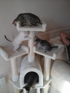 Savannah male and female kittens for sale01