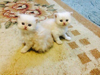 Top Pedigree White Kittens