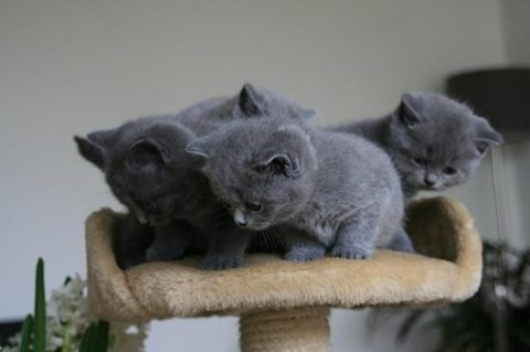 Cutest British Short Hair Kittens Available For Rehoming01