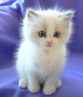 Cutest And Adorable Male And Female Ragdoll Kittens For New Home