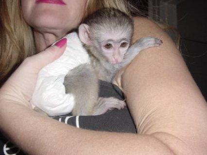مارموريت القردة جاهزه للبيع