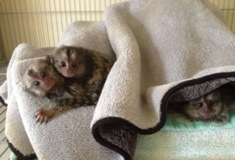 صور Nice Male and female Marmoset monkeys babies ready for sale 1
