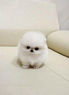 Healthy Tiny Tea Cup Pomeranian Puppies