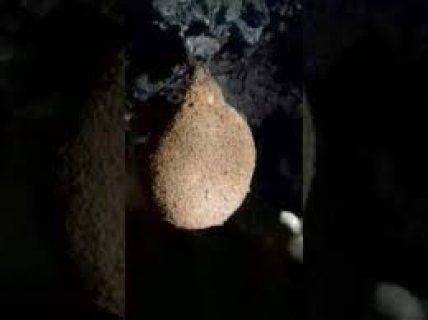 مطلوب عش الخفاش بالمغرب
