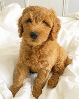 Mini goldendoodle puppies available for sale