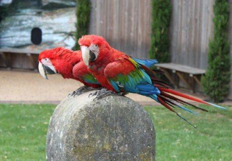 Scarlet macaw parrots available for sale