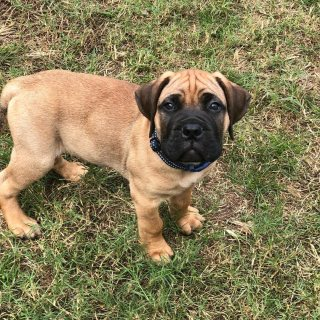 English Bull Mastiff puppies available for sale