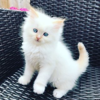 Blue eyes Persian kittens available for sale