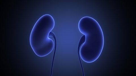 Rein / Kidney