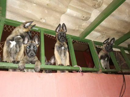 كلاب الملينوا للبيع مرحبا العمر شهرين