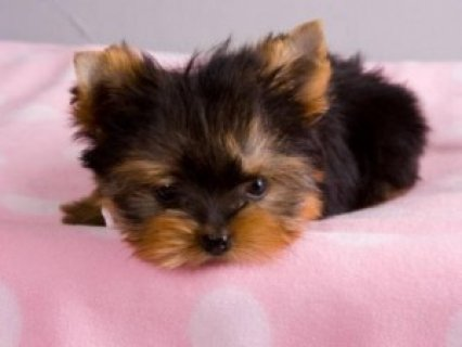 Lovely Teacup Yorkie Puppies