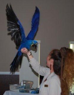 Home Raised Female Hyacinth Parrot3