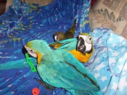 Talking Blue and Gold Macaw Parrots1