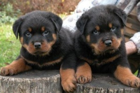 Rottweiler Puppies Available3