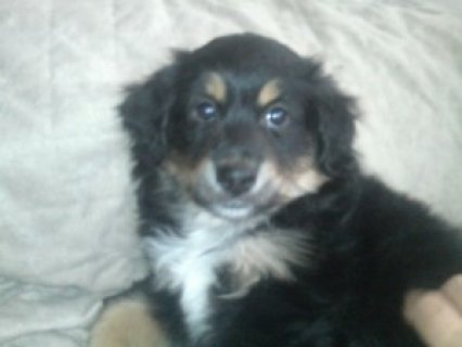 صور Sweet Mini Aussie Puppy 1