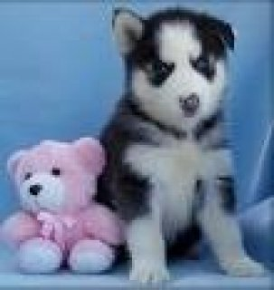 صور Beautiful AKC Siberian Husky Puppies Available in Morroco 1