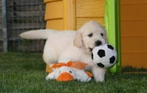 Playful Golden Retriever Puppies Available in Morroco