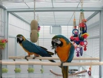 Blue and Gold Macaw Available hear in Morroco