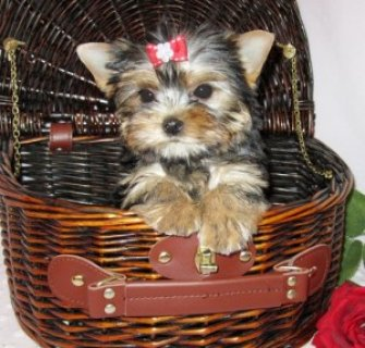Home Raised Tiny Puppies Available for X-MAX