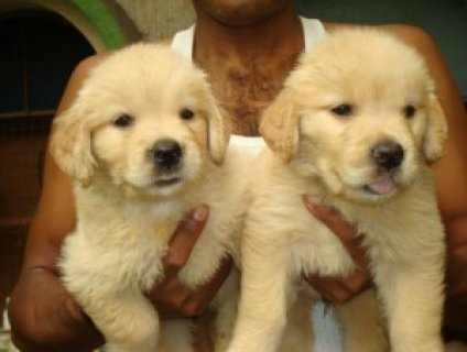 Akc Registered Charming Golden Retriever puppies