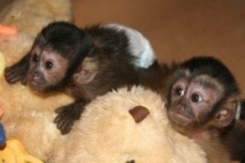 Capuchin monkey babies