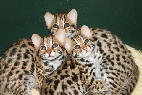 F1 Bengal kittens