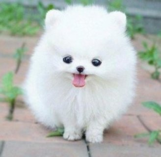 Pomeranian Pups for Adoption