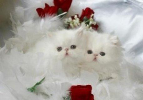 Cashmere White Teacup Persian Kitten For Sale