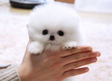 Poeranian puppies for re hoing