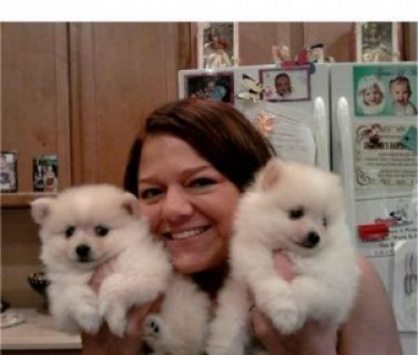 Cute X Mas pomeranian Puppies For Free Adoption