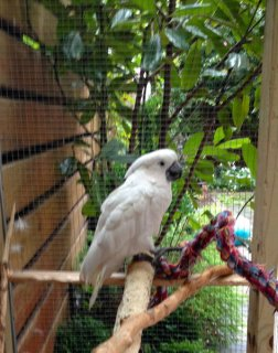 Beautiful Baby Umbrella Cockatoo for sale (17 months old, with g