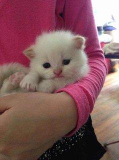 himalaya kittens  Ready