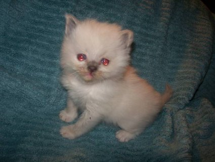 Adorable Ragdoll Kittens - Please Contact