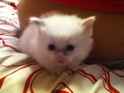 صور $Adorable Ragdoll Kittens - Please Contact 3