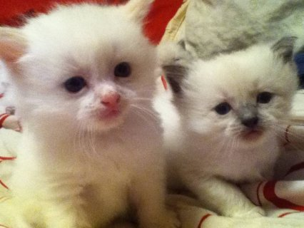 صور Adorable Ragdoll Kittens - Please Contact 4