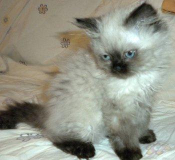 Himalayan Kitten 3 Months Old