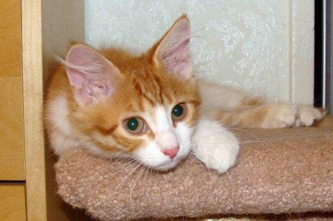 SIBERIAN kittens-TICA registered