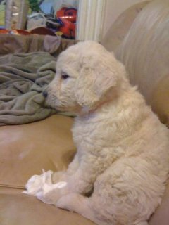 GOLDENDOODLE PUPPIES F1B