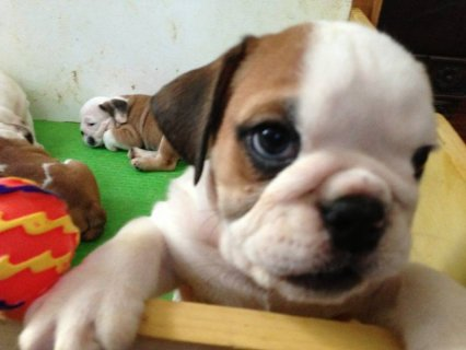 Akc Bulldog puppies Ready